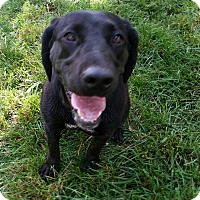 Labrador Retriever Mix Dog for adoption in Long Island, New York - Kennedy