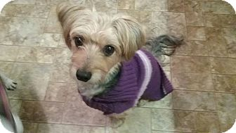 Yorkie, Yorkshire Terrier/Bichon Frise Mix Dog for adoption in Union Grove, Wisconsin - Jude