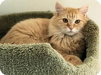Domestic Shorthair Kitten for adoption in Asheville, North Carolina - Marigold