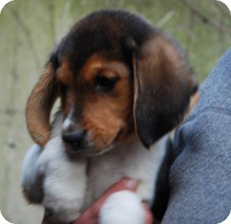 beagle basset hound mix for sale