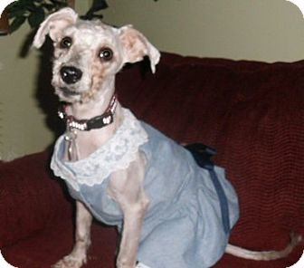 Schnauzer (Miniature)/Poodle (Miniature) Mix Dog for adoption in Mooy, Alabama - Nicole