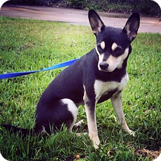 shiba inu rat terrier mix heidie adopted dog fort worth tx rat terrier shiba inu mix 8507