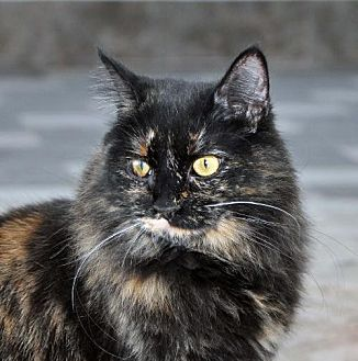 Domestic Longhair Cat for adoption in Alamogordo, New Mexico - Zumba