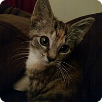 Adopt A Pet :: Lillian - Feline Leukemia - Reston, VA