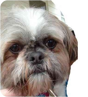 shih tzu rescue ohio muffin adoption pending adopted dog orient oh shih tzu 1794