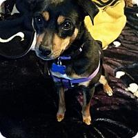 Adopt A Pet :: Juno - Alden, NY