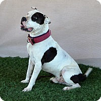 American Bulldog/Pit Bull Terrier Mix Dog for adoption in Sherman Oaks, California - Poptart