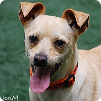Chihuahua Mix Dog for adoption in Burlingame, California - Peter