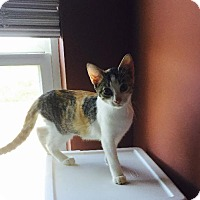 Domestic Shorthair Cat for adoption in St. Louis, Missouri - Ashley