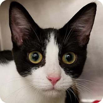 Domestic Shorthair Cat for adoption in New York, New York - Polo