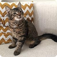Adopt A Pet :: Galacticat - Addison, IL