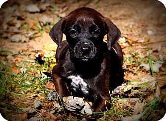 Pointer/Labrador Retriever Mix Puppy for adoption in Glastonbury, Connecticut - Twiggy