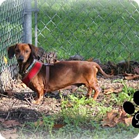 Dachshund Dog for adoption in New Boston, Michigan - Buddy