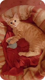 Domestic Mediumhair Cat for adoption in Melbourne, Florida - Ginger Snap