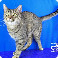 Domestic Shorthair Cat for adoption in Carencro, Louisiana - Catty