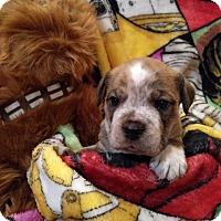 Adopt A Pet :: Luke Skywalker (The Star Wars Clan) - Hanover, PA
