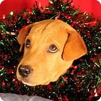 Adopt A Pet :: Bashful - Dallas, TX