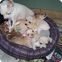 Adopt A Pet :: Puppies - Apache Junction, AZ