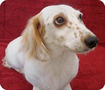 Dachshund Dog for adoption in Atascadero, California - Rory