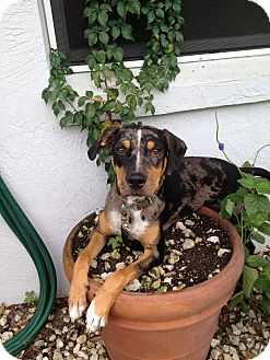 Catahoula Leopard Dog Dog for adoption in Hubertus, Wisconsin - Dawson