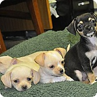 Adopt A Pet :: Allie - Tumwater, WA