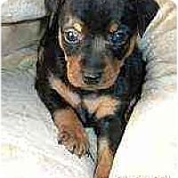 Adopt A Pet :: Feebie - Minneapolis, MN