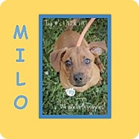 Adopt A Pet :: MILO - Dallas, NC