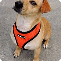 Adopt A Pet :: Oogy - Humble, TX
