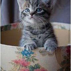 Photo 4 - Domestic Shorthair Kitten for adoption in Trexlertown, Pennsylvania - Tillie- New pictures!