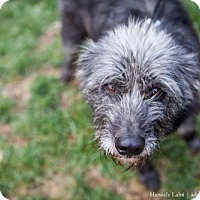 Adopt A Pet :: Misty  (Has application) - Washington, DC