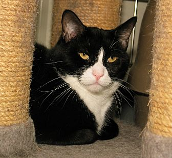 Domestic Shorthair Cat for adoption in Milford, Massachusetts - Archie and Reginald