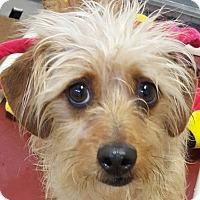 Adopt A Pet :: Duck - Boulder, CO