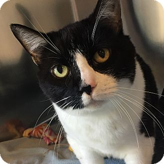 Domestic Shorthair Cat for adoption in Wilmington, Delaware - Princessa
