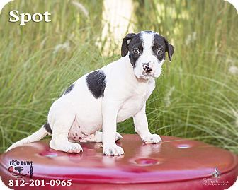 Terrier (Unknown Type, Medium) Mix Puppy for adoption in Terre Haute, Indiana - Spot
