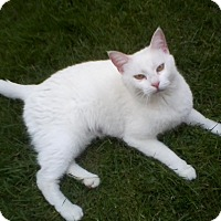 Adopt A Pet :: Snowball - Jeannette, PA