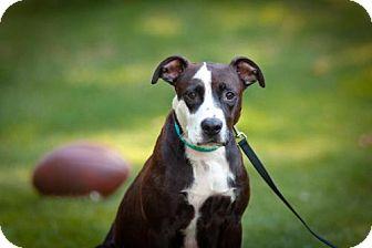 Labrador Retriever/Springer Spaniel Mix Dog for adoption in Alpharetta, Georgia - ShelleyMac