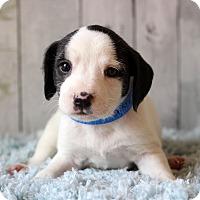 Adopt A Pet :: Gavin - Waldorf, MD
