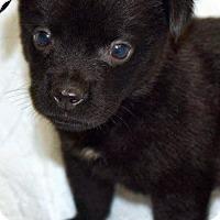 Adopt A Pet :: McEnroe - Arlington, VA
