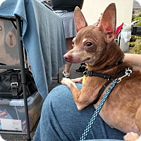 Adopt A Pet :: Chi Chi - Indianapolis, IN