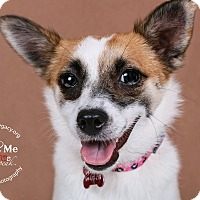 Papillon/Jack Russell Terrier Mix Dog for adoption in Cincinnati, Ohio - Misti