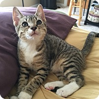 Adopt A Pet :: Baby Tiger - Hoffman Estates, IL