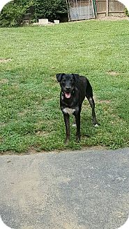 Shepherd (Unknown Type) Mix Dog for adoption in Phoenxville, Pennsylvania - Nahla