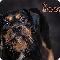 Adopt A Pet :: Boomer - Somerset, PA