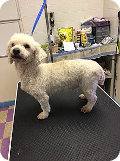 Poodle (Miniature) Mix Dog for adoption in West Columbia, South Carolina - Bullwinkle
