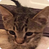 Domestic Mediumhair Cat for adoption in San Antonio, Texas - A395684