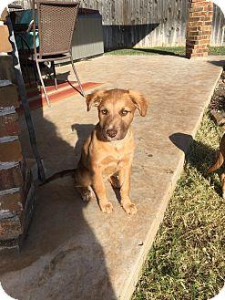 Mastiff Mix Puppy for adoption in oklahoma city, Oklahoma - Harper