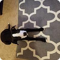 Adopt A Pet :: Juju - MCLEAN, VA