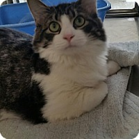 Maine Coon Cat for adoption in Chambersburg, Pennsylvania - Bianca