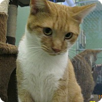 Domestic Shorthair Cat for adoption in Chisholm, Minnesota - Jello