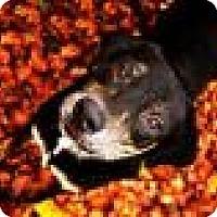 Adopt A Pet :: ZaZu - Fort Smith, AR
